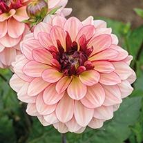 Dahlia Creme de Cognac Flower Tubers