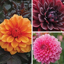 Decorative Dahlia Flower Tubers Collection