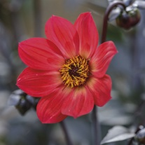 Dahlia Happy Single Flame 3lt Potted Plant