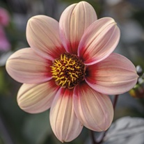 Dahlia Happy Single Kiss Flower Tubers
