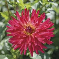 Dahlia Macalister's Pride 3lt Potted Plant