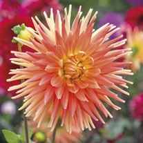 Dahlia Motto 3lt Potted Plant