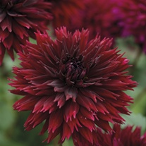 Dahlia Black Touch Flower Tubers