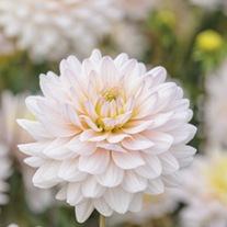 Dahlia Diana's Memory Potted Plant