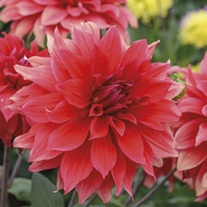 Dahlia Babylon Red 3lt Potted Plant