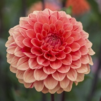 Dahlia Orange Cap Potted Plant