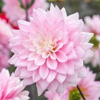 Dahlia Karma Prospero Flower Tubers