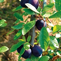 Damson Merryweather AGM fruit tree