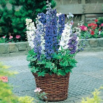 Delphinium Magic Fountains Mixed F1 Plug Plants