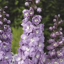 Delphinium Aurora Lavender Flower Plants