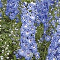 Delphinium Aurora Sky Blue Flower Plants