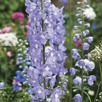 Delphinium Summer Skies Potted Flower Plant
