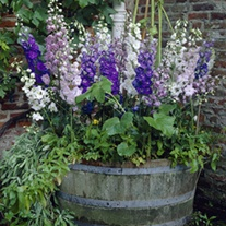 Delphinium Magic Fountains Mixed F1 Flower Plants