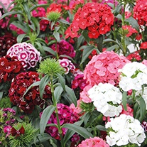 Dianthus Sweet Mixed F1