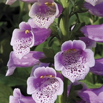 Foxglove Dalmatian Rose Flower Plants
