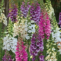 Digitalis Dalmatian Mixed F1 Flower Plants