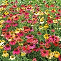 Echinacea Cheyenne Spirit F1 Plug Plants