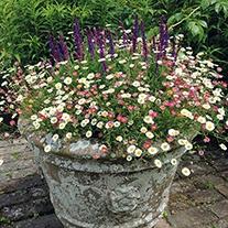 Erigeron karvinskianus Stallone Potted Flower Plant