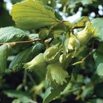 Filbert Kent Cob Fruit Tree