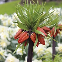Fritillaria imperialis Rubra Flower Bulbs