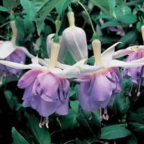 Fuchsia Quasar (Trailing) Flower Plants