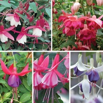 Fuchsia (Hardy) Flower Plant Collection