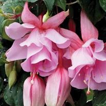 Fuchsia Julie Horton plants