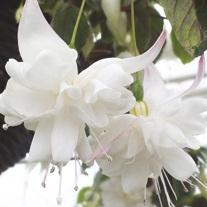 Fuchsia White King (Trailing) Flower Plants