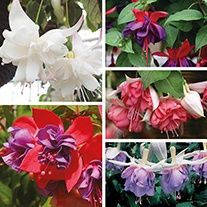 Fuchsia (Trailing) Flower Plant Collection