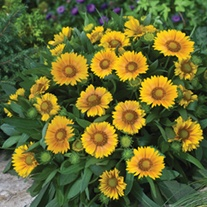 Gaillardia Arizona Apricot Potted Flower Plant