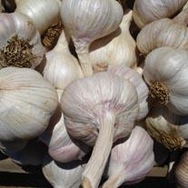 Garlic Carcassonne Wight Bulbs (hardneck)