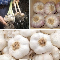 Autumn Planting Garlic Bulb Collection