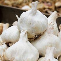 Garlic Vallelado Wight Bulbs (softneck)