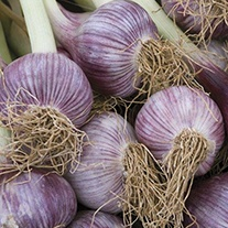 Garlic Caulk Wight Bulbs (hardneck)