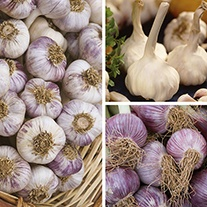 Autumn Planting Garlic Collection
