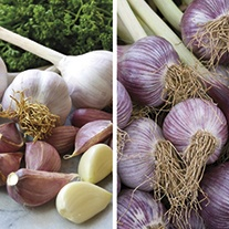 Autumn Planting Spicy Garlic Double Pack