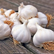 Garlic Mersley Wight bulbs