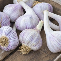 Garlic Czechmate Bulbs (Hardneck)
