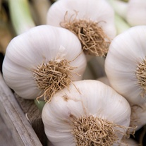 Garlic Lautrec Wight Bulbs (Hardneck)