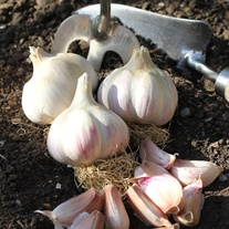 Garlic Kingsland Wight Bulbs (Hardneck)