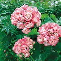 Geranium Apple Blossom Rosebud AGM Flower Plants