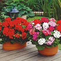 Geranium Palladium Red F1 Flower Plants