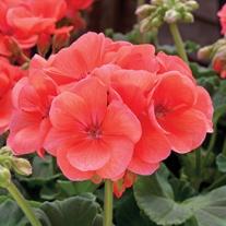 Geranium Zonal Designer Salmon (Zonal) Flower Plants
