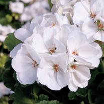 Geranium Designer White (Zonal) Flower Plants