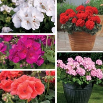 Geranium Designer (Zonal) Flower Plant Collection