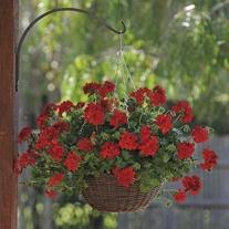 Geranium Precision Dark Red (Trailing) Flower Plants
