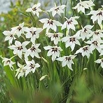 Gladiolus Murielae Flower Bulbs
