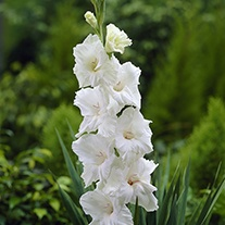Gladiolus White Prosperity Flower Bulbs