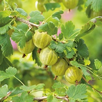 Gooseberry Hinnonmaki Yellow Fruit Plant (Late Season)