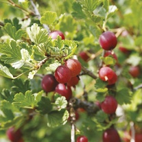 Gooseberry Hinnonmaki Red Fruit Plant (Mid Season)